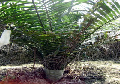 Xavan® 40 will loose by itself due to extended frond