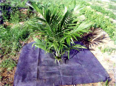 Mulching for immature oil palm