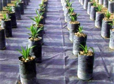 Xavan® 20 as ground cover in the nursery